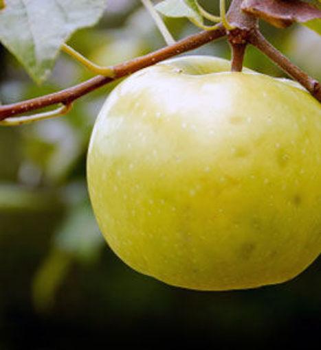 Lodi Apple - a great fruit tree.