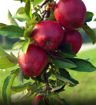 Picture of Red Jonathan Apple