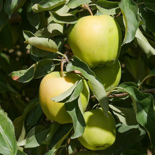 Picture of Yellow Delicious Apple