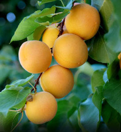 Picture of Moorpark Apricot
