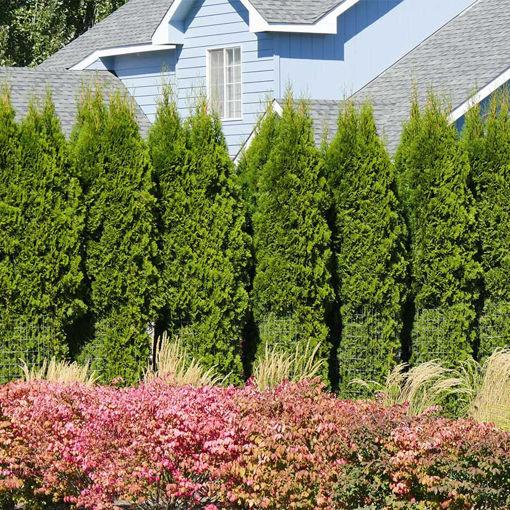 American Arborvitae evergreen