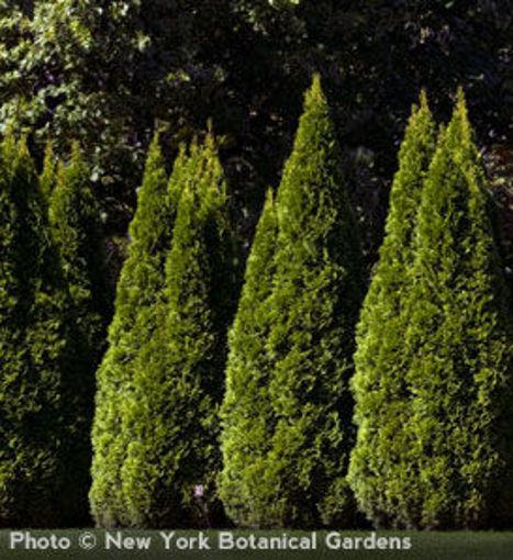 "Emerald Arborvitae - Thuja occidentalis ""Emerald"""