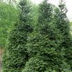 Green Giant Arborvitae evergreen