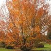 American Beech - Fagus grandifolia - fall color