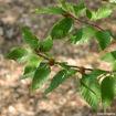 American Beech - Fagus grandifolia - leaves