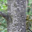 European Beech - Fagus sylvatica