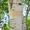 Picture of Paper Birch