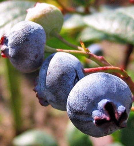 Rubel Blueberry - Vaccinium corymbosum Rubel shrub
