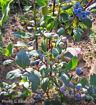 """Rubel Blueberry - Vaccinium corymbosum """"Rubel"""""""