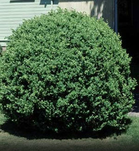Common Boxwood evergreen