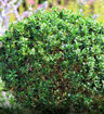 Common Boxwood - Buxus sempervirens