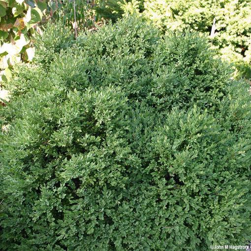 Green Velvet Boxwood evergreen