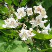 Picture of Northern Catalpa