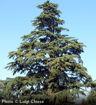 Deodar Cedar evergreen