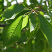 Bing Cherry Prunus avium