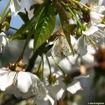 Black Tartarian Cherry - Prunus avium