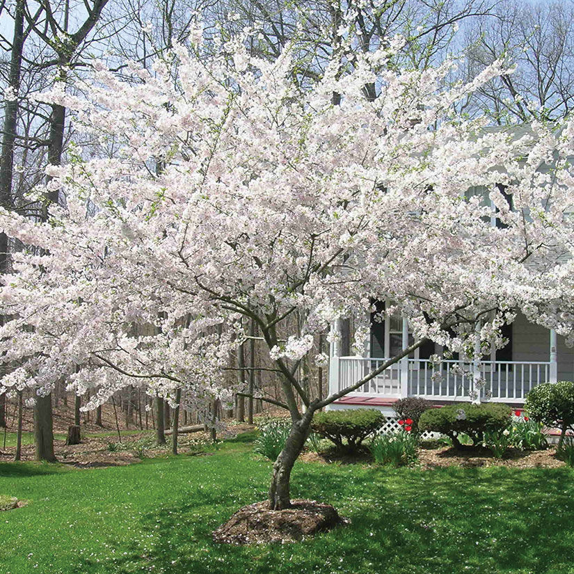 Buy Affordable Yoshino Cherry Trees At Our Online Nursery Arbor Day Foundation Buy Trees Rain Forest Friendly Coffee Greeting Cards That Plant Trees Memorials And Celebrations With Trees And More