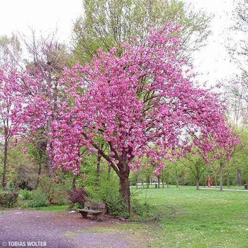 """Kanzan Cherry - Prunus """"Kwanzan"""" (Kanzan)"""
