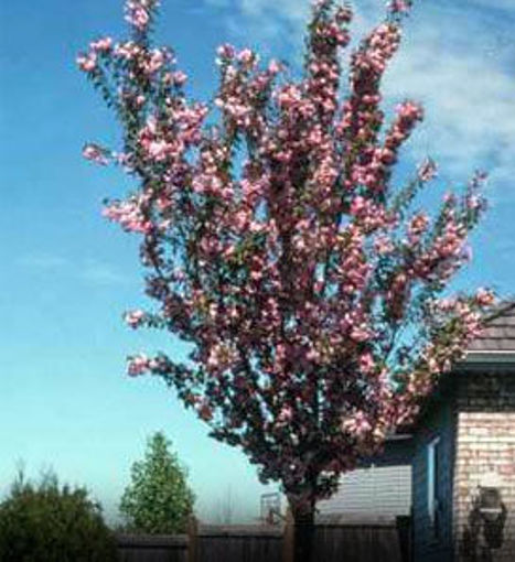 Purpleleaf Sand Cherry - Prunus x cistena