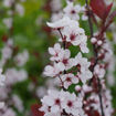 Picture of Purpleleaf Sand Cherry