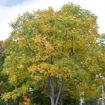 Kentucky Coffeetree - Gymnocladus dioicus