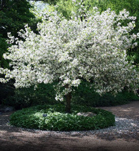 What Does Flowering Crab Tree Mean?