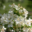 Picture of Snowdrift Crabapple