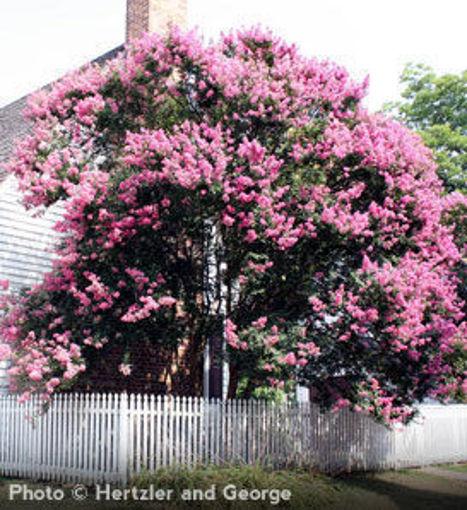 Crapemyrtle (Crape Myrtle) shrub - Lagerstroemia indica