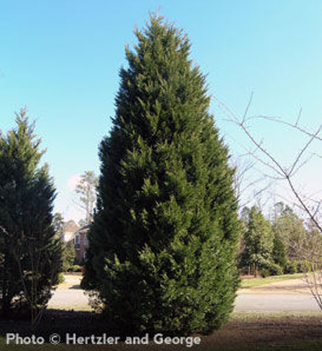 Leyland Cypress evergreen