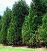 Leyland Cypress - X Cupressocyparis leylandii