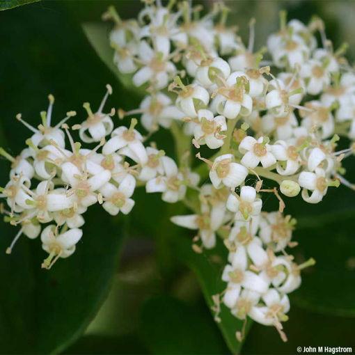 Gray Dogwood shrub - Cornus racemosa