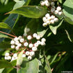 Picture of Gray Dogwood