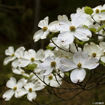 Picture of Kousa Dogwood (Japanese Dogwood)