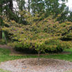 Picture of Kousa Dogwood (Japanese Dogwood)