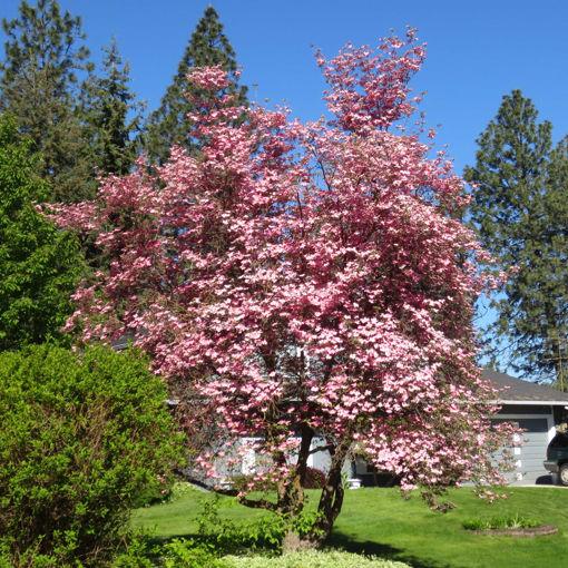 "Pink Dogwood - Cornus florida ""Rubra"""