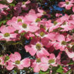 Picture of Pink Dogwood