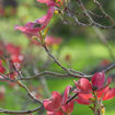 Picture of Red Dogwood