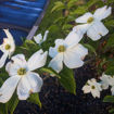 Picture of White Dogwood