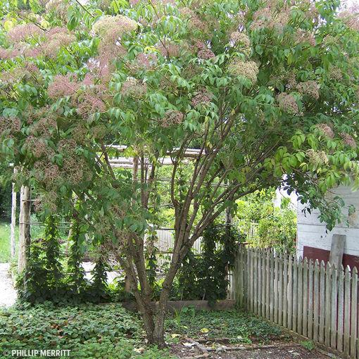 American Elder shrub - Sambucus Canadensis