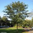 Lacebark Elm - Ulmus parvifolia