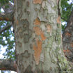 Picture of Lacebark Elm