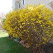 Forsythia bush - Forsythia x intermedia