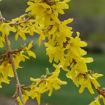 Forsythia - Forsythia x intermedia