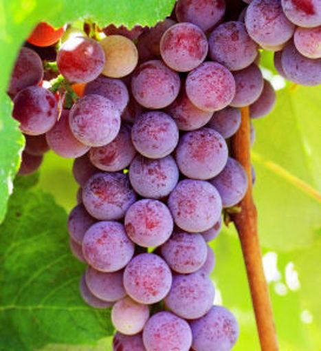 Catawba Grape Vine - Vitis labrusca Catawba