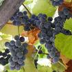 """Concord Grape Vine - Vitis labrusca """"Concord"""""""