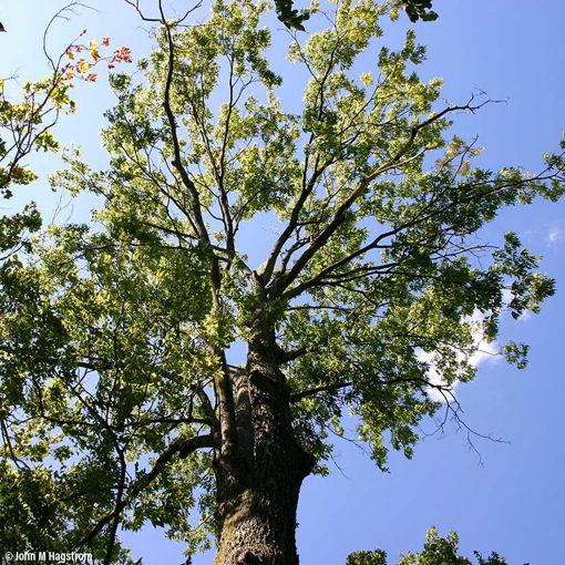 Hackberry - Celtis occidentalis
