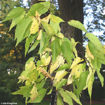 Picture of Hackberry