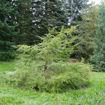 Canadian Hemlock evergreen