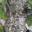 Canadian Hemlock Tsuga canadensis
