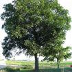 Shellbark Hickory - Carya laciniosa